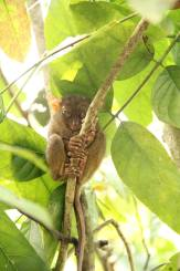A wide awake tarsier.
