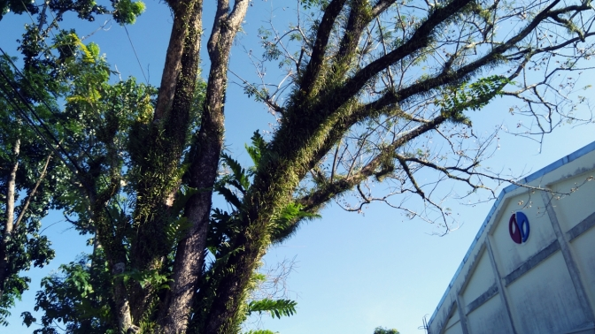 Hairy Tree at the NFA Baler Office